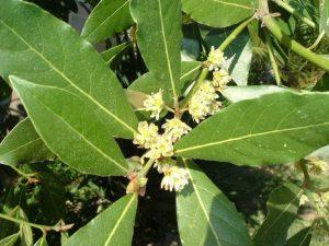 Alloro-foglie