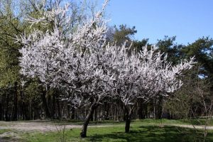Free picture (Blossoming apricot) from https://torange.biz/blossoming-apricot-1593