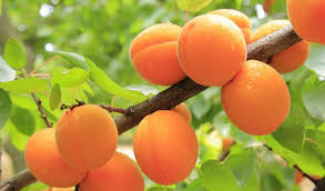 albicocca-frutti